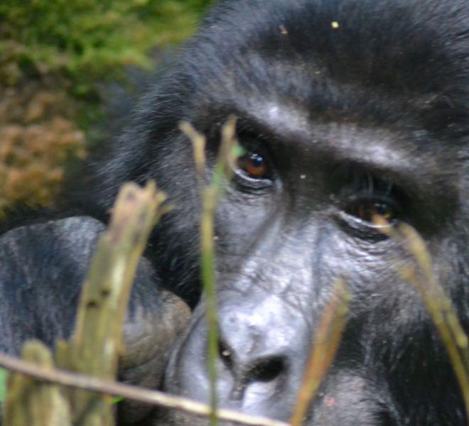 Gorilla-plan-uganda-safari